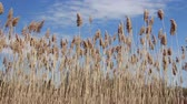 Common reed Phragmites australis over a blue sky summer day  waving in the wind Dostupné videozáznamy