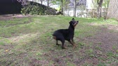 psy : Pinscher dog enjoying playing ball outdoor Wideo