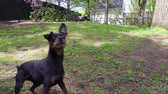 préau : Pinscher dog enjoying playing ball outdoor Vidéos Libres De Droits