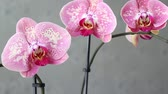 orchideen : Rosa Orchidee