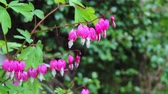 purple : Beautiful bleeding heart flowers in the wind HD footage Stock Footage