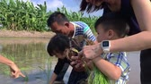 сельскохозяйственный : Bangkok, Thailand - October 23, 2016: Asian Family is getting nature education by planting rice crop on paddy field.