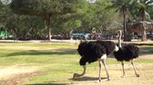 adult ostrich running in a park
