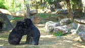 savec : two bear is playing fight with each other. Dostupné videozáznamy