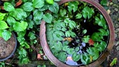 rostlina : Green garden Lotus water Bowl zoom in