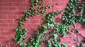 muro de pedras : 00:00 | 00:11 1× Climbing Ivy on red brick wall.