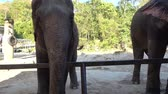 tajlandia : Hand Feeding large Elephant with vegetable