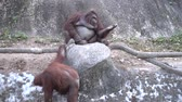 expressão : Couple of orangutan monkeys is playing on the rock