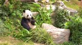 giant panda : Cute Little Panda is eating bamboo for lunch