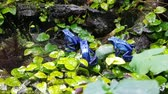 Tiny poisoned blue frogs on a wet rock forest