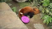 Red panda is eating food from plastic bowl