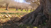 solitaire : Close up of old olive tree