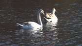 Two swans on the pond, London, England Stock Footage