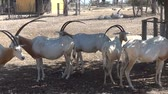horned artiodactyls (scimitar oryx) from the zoo