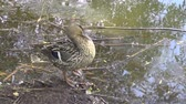 female mallard duck Stock Footage