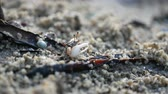 krab : small crap with colorful carapace moving claw and eating food on sand ground floor