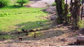 tradições : Local woman in traditional dress herding goats Stock Footage
