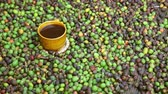 coffee tree : Fresh Coffee Beans