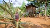 ananás : pineapple fruit plantation in village house, laos Stock Footage