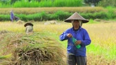 organic : BALI - MAY 2012: workers on rice field Stock Footage