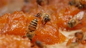 strain : Bees find nectar on mango jam under the strong sunlight. Stock Footage