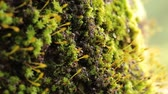 гнездо : Close-up of Busy Ants Climbing on the Rough Tree Covered with moss.