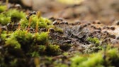 ormanda yaşayan : Close-up of Busy Ants Climbing on the Rough Tree Covered with moss.
