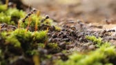 coletivo : Close-up of Busy Ants Climbing on the Rough Tree Covered with moss.