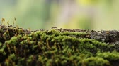 красный фон : Close-up of Busy Ants Climbing on the Rough Tree Covered with moss.