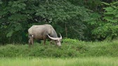 szarvak : Water buffalo are eating grass in the field