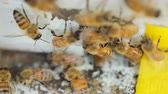 pente : Bees find food and keep in White bee boxes Selective Focus. Stock Footage