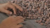 seçim : Selection of completed cocoa seeds must be dried before into sacks Stok Video