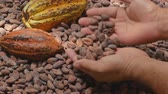 equador : Selection of completed cocoa seeds must be dried before into sacks Stock Footage