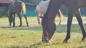 hříbě : horses are grazing on grass in the meadow in the countryside