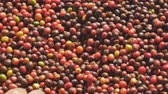 coffee farmers : Fresh Arabica Red Coffee beans berries and Drying Process.