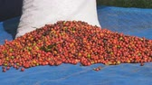 coffee farmers : Red Coffee beans berries and Drying Process Stock Footage