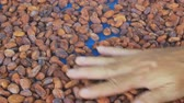 de ativos : Selection of completed cocoa seeds must be dried Vídeos