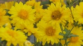 krizantem : Yellow Chrysanthemum flowers in the garden.