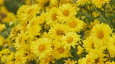 маргаритка : Yellow Chrysanthemum flowers in the garden.