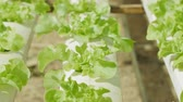 дуб : Fresh hydroponics vegetable farm, Salads vegetable hydroponics farm