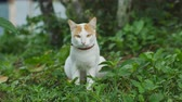 oynak : A cat looking at camera on the grass background. Stok Video