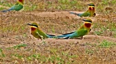 wild : Couple of Bluetailed beeeater  Merops philippinus digging the hole for make a home on the ground in nature in Thailand