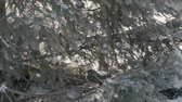 juvenil : Sparrows in the fir forest