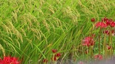 Red Spider Lilies, or higanbana and rice fields.