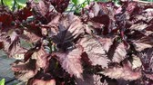 Red Shiso cultivation in japan (Red perilla) Стоковые видеозаписи