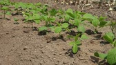 pole : Soybean cultivation at garden, June