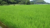 young rice plant in rice field at Japan Стоковые видеозаписи