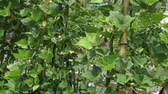 vine plant : Midsummer family vegetable garden, flowers are also blooming bean scenery. Stock Footage