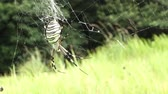 Closeup of Argiope spider, a Japanese black and yellow spider (koganegumo) Стоковые видеозаписи