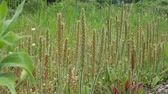 Flower of Plantago virginica, May Stok Video